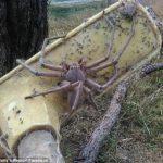 The Biggest Huntsman Spider Found in Queenstown Australia