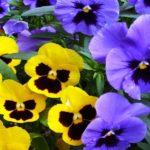 Pansy or Viola Tricolor Hortensis