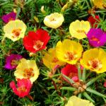 Portulaca or Portulaca Gandiflora