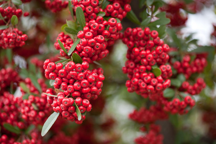 """""""Pyracantha"""" is a genus of large, thorny evergreen shrubs in the family Rosaceae, with common names firethorn or pyracantha are native to an area extending from Southwest Europe east to Southeast Asia."""