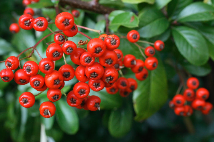 """densely borne. The """"Pyracantha"""" aesthetic characteristics in conjunction with their home security qualities make them an alternative to artificial fences and walls."""