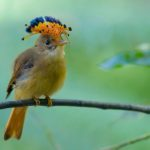 The Atlantic Royal Flycatcher