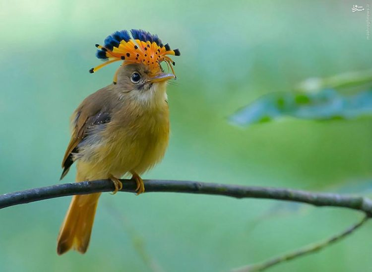 The Atlantic royal flycatcher is believed to feed on insects, predominantly flying insects such as dragonflies.