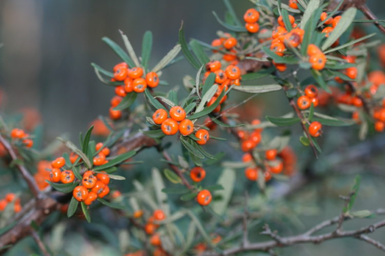 """""""Pyracantha"""" is also good shrubs for a wildlife garden, providing dense cover for roosting and nesting birds, summer flowers for bees and a plenty of berries as a food source."""