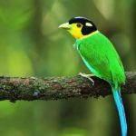 The Long-tailed Broadbill