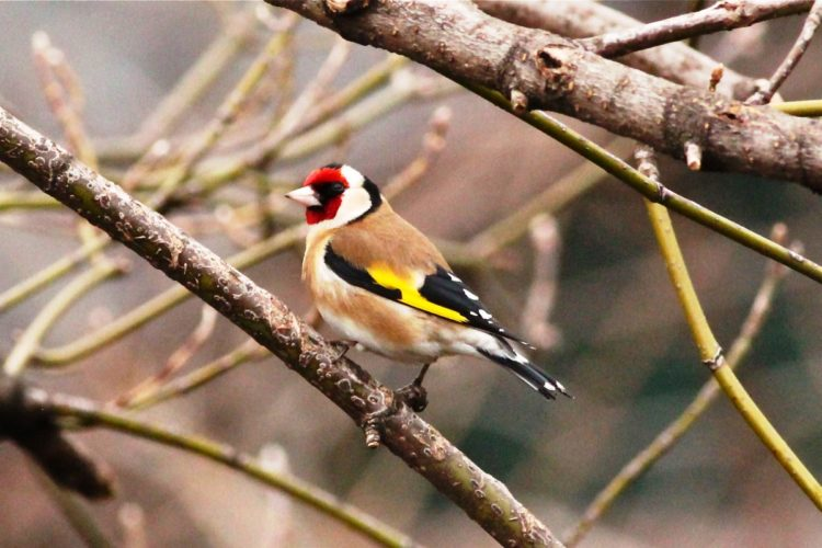 The goldfinch will also make local movements, even in the west, to escape bad weather.