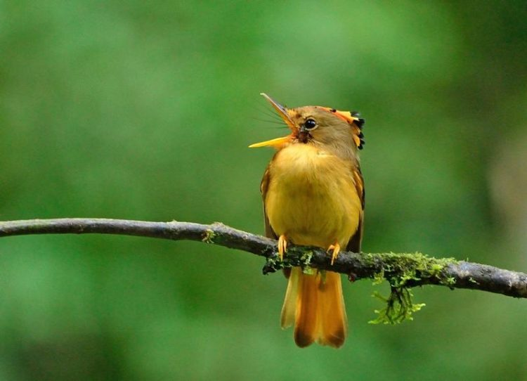 This stunning Brazilian endemic inhabits the understory of lowland and lower montane Atlantic forest, up to 800 metres above sea level.