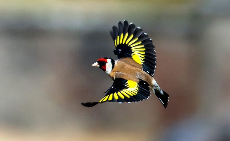 The bird is breeds in mixed woodland, orchards, parks, commons, gardens and pine plantations where there are thistles and other plants that produce seeds.