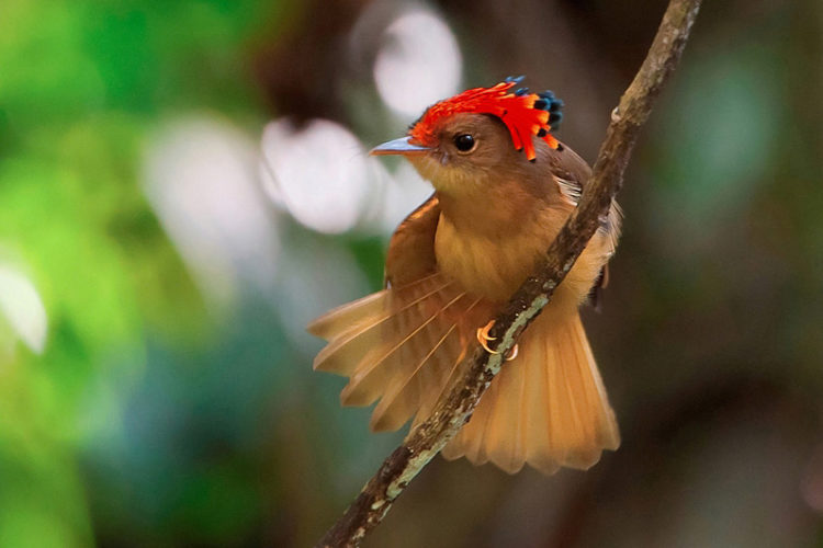 The Atlantic Royal Flycatcher is measuring 6.3 to 6.5 in and this large-billed flycatcher has a remarkable, but rarely seen, crest.
