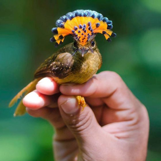 The Atlantic Royal Flycatcher (Onychorhynchus coronatus swainsoni) is a bird belongs to family Tyrannidae, and it is often considered a subspecies of Onychorhynchus coronatus.