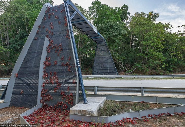 Every year, millions of red crabs migrate across Christmas Island to lay their eggs near the Pacific Ocean - assisted by these specially-built bridges to stop them being crushed by cars