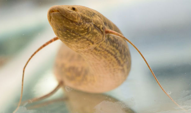 The lungfish can even drown if they are keeping him for underwater for a long time.
