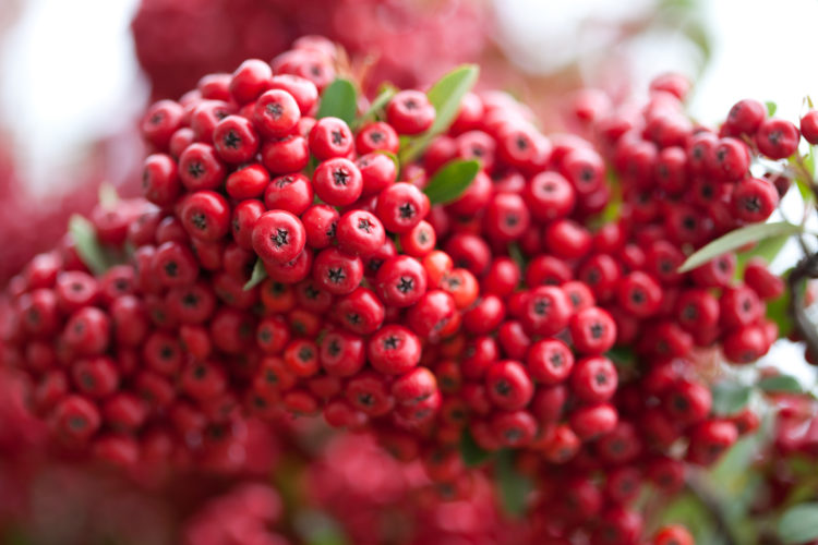 """Birds love the berries of the """"Pyracantha"""" and take shelter from wintry blasts all through the long cold season and spring bloom is just the icing on the cake."""