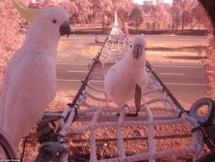 These rope ladders have been used over Australia's Hume Highway in Victoria since 2007 to help squirrel gliders get across more easily - pictured here with some guest cockatoos