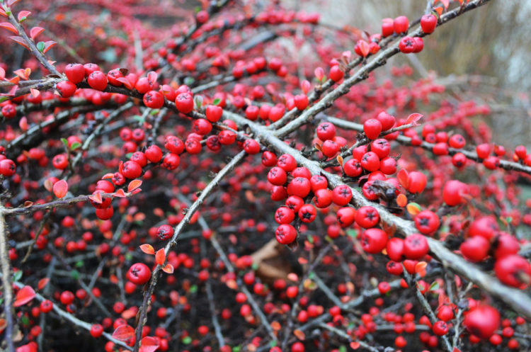 """""""Pyracantha"""" berries are mildly poisonous as their seeds contain cyanogenic glycosides, however in some colder countries """"Pyracantha"""" and the related genus Cotoneaster are valuable sources of nectar when often the bees have little other forage during the June Gap."""
