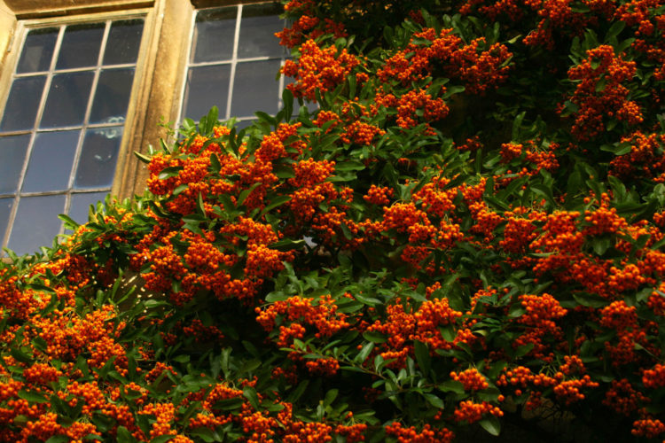 """""""Pyracantha"""" is the scientific name of firethorn plants, an evergreen plant that is easy to grow and provides seasonal interest and berries can handle the simple care of firethorn bush."""