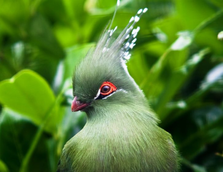 The Schalow's turaco (Tauraco schalowi) is a frugivorous bird in the Musophagidae family.