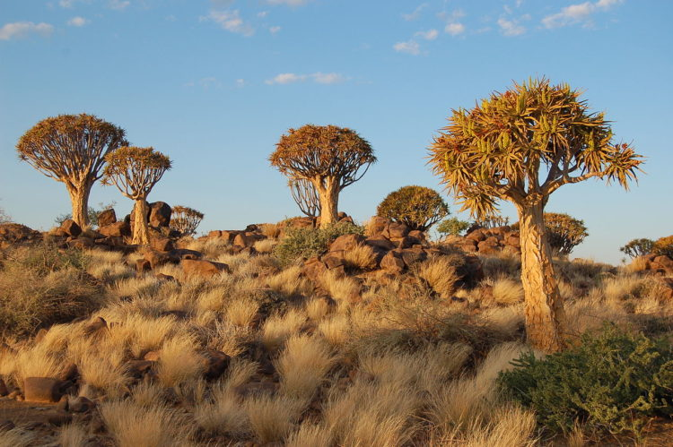 The Quiver Tree Forest is located about 14 km north-east of the town of Keetmanshoop, on the road to the small village of Koës, in southern Namibia.