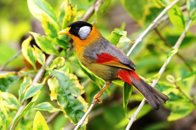 The Silver-eared Mesia (Leiothrix argentauris) was once placed in the large Old World babbler family Timaliidae.