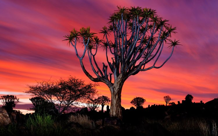 That in itself is a way of escaping the worst of the devastating heat and reducing the amount of moisture inevitably lost by evaporation from the surface of their leaves. The tree is protected by law in South Africa, and the Quiver Tree Forest is a national monument of Namibia.