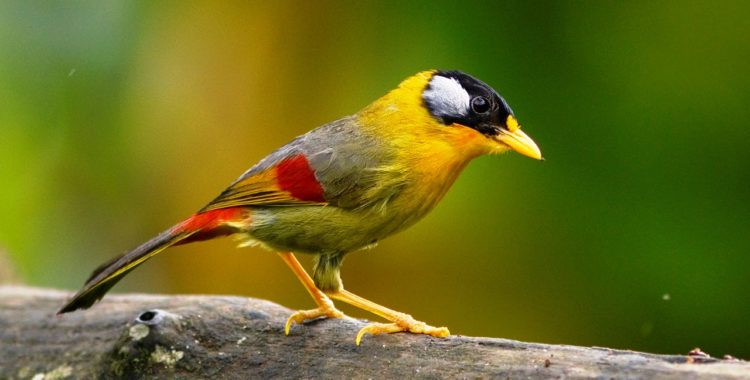 The eye-catching Silver-eared Mesia is a local resident in the foothills of the Himalayas. The birds like cool climate, but it is also a resident of the sub-montane forest of Peninsula Malaysia.