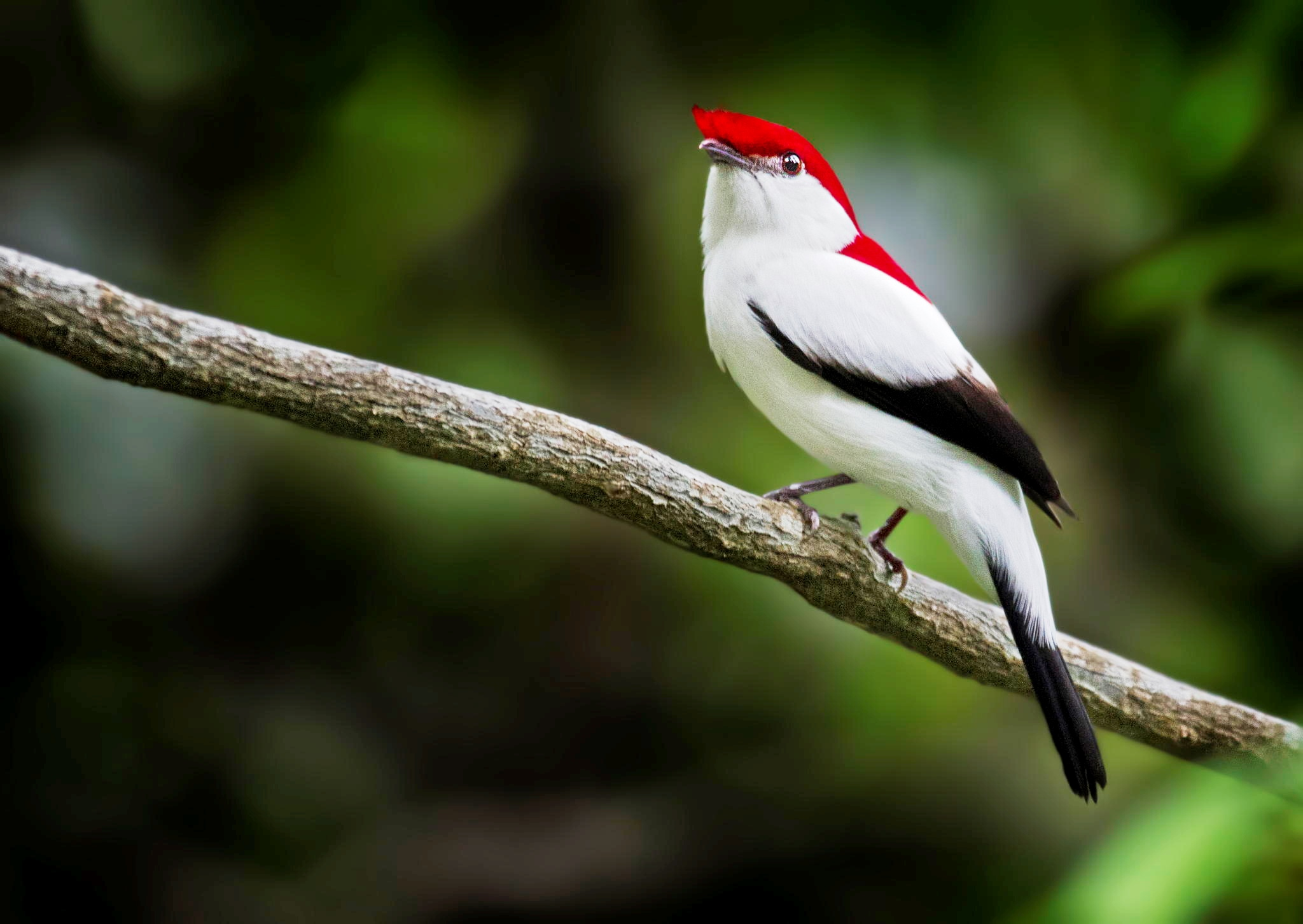Araripe Manakin is a colorful and critically endangered species, which numbers are decreasing over the years and currently it is no more than 800 species.