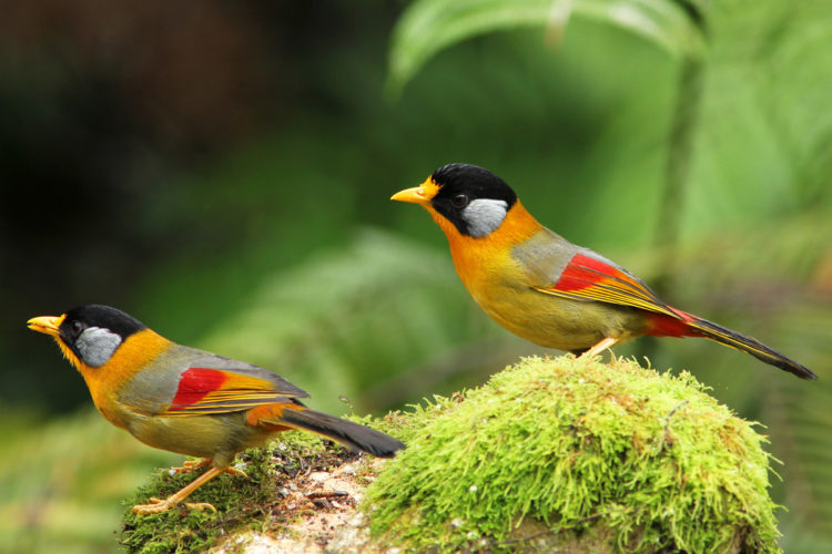 The beautiful multicolor Mesia live in bushes of forest edge. The Mesia food is insect but it does wait for definite berries of the under growth. Moreover, the bird like to travels in group together with bird waves or just by themselves.