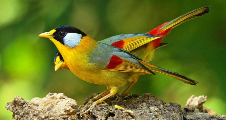 They're presence in the area is alerted by the loud call of the male otherwise most times, soft murmuring whispers as long as they are around. In most of the hill stations in Malaysia, you need not search or wait long; the bird will make it's appearance.