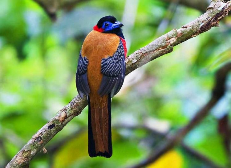 Red-naped trogons are usually inactive outside of their consistent feeding patterns. Because of this, birdwatchers and biologists have observed that apart from their overall attractiveness, they're infamous for their lack of other immediately engaging qualities.