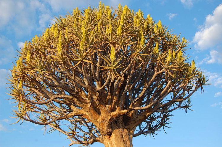 Here grows, on a private farm, about 250 specimens of the quiver tree, or aloe dichotoma, which is a tall, branching species of aloe, indigenous to the Northern Cape region of South Africa, and parts of Southern Namibia.