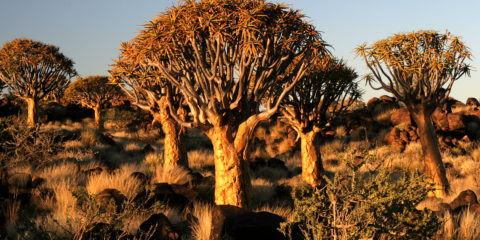 This area is popular attraction due to unique shape of aloe dichotoma.
