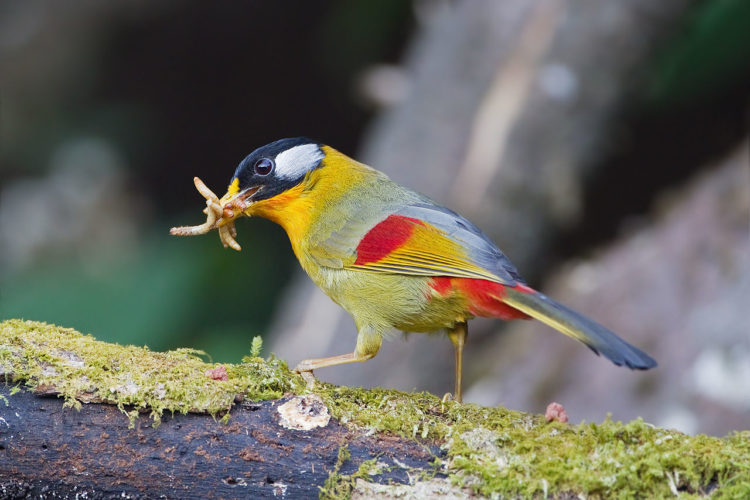 Though, this species is sometimes placed in it's own genus Mesia, or in the genus Leiothrix with the red-billed leiothrix.