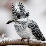The Crested Kingfisher (Megaceryle lugubris)