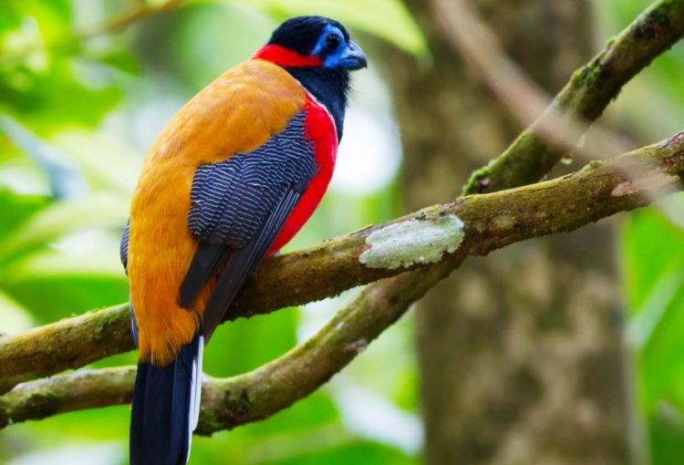 Both male and female have a life span of approximately 7.3 years. The females are blander in color than the males, containing of a grey-brown head and upper breast with yellow underparts.
