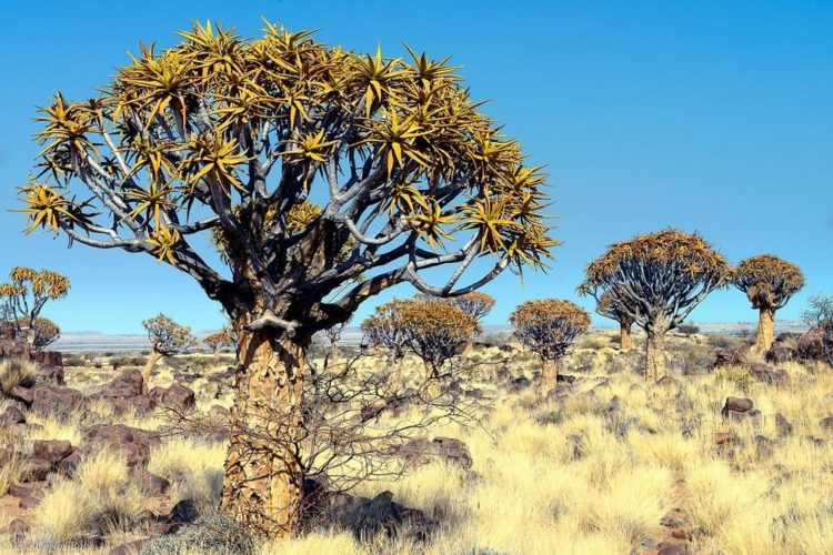 "The uncommon crown contains of various forked branches, which gives the species its name ""dichotoma"", which means forked."