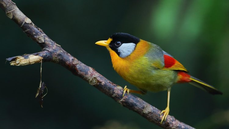 Moreover, throat and the patch behind the head is orange yellow followed by a grey back ending in bright orange red before the tail. The prominent colors are orange-yellow flight feathers with a red base.