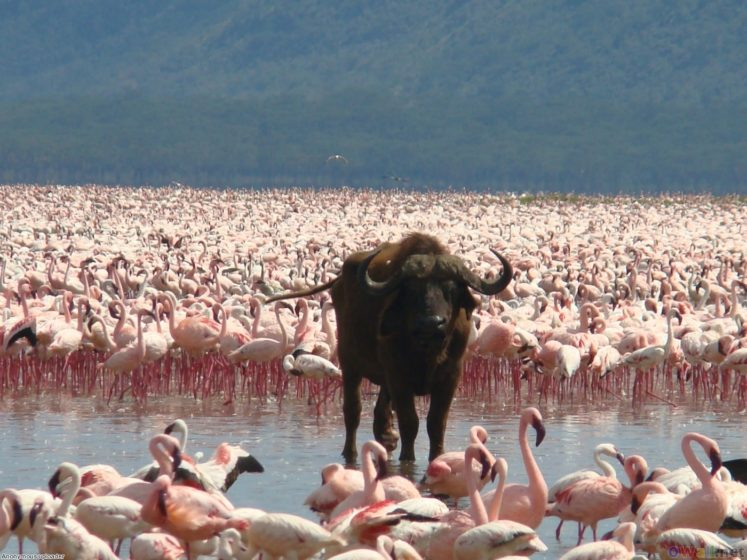 . It lies to the south of Nakuru, in the rift valley of Kenya. The surface of the shallow lake of Nakuru is almost unequivocally pink.