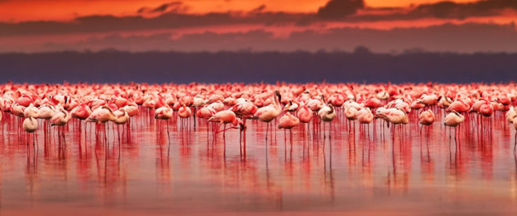 Yet, conservationists are increasingly concerned that pollution from local industries could be causing the flamingo population at Lake Nakuru to fall.
