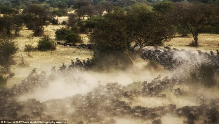 Wildebeest kick up clouds of dust as they charge through the African Serengeti during their annual mass-migration