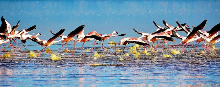 Lake Nakuru National Park is 188 km2, created in 1961 around Lake Nakuru, is mainly famous for its thousands, sometimes millions of flamingos nesting along the shores,