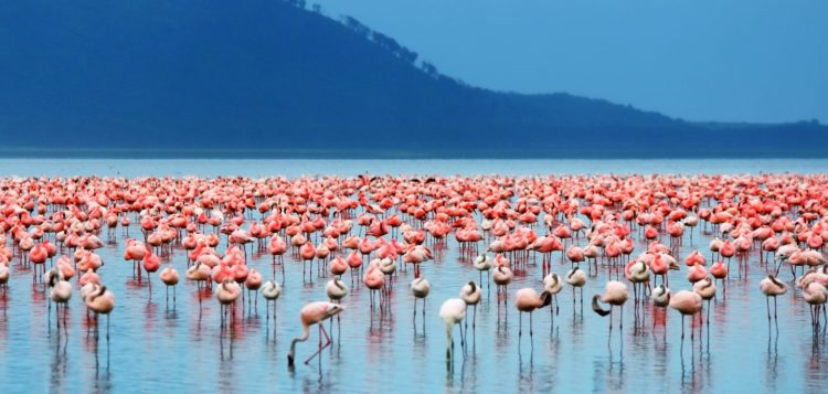 In 1961, the Lake Nakuru National Park was created around the lake to protect this spectacle.