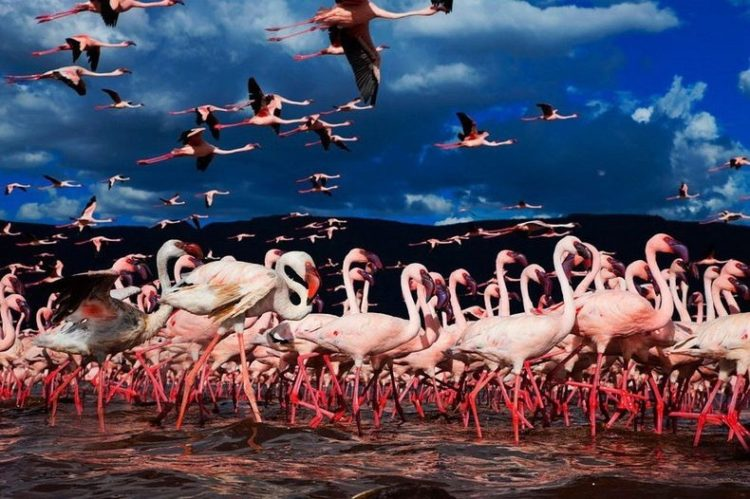 There are two types of flamingo species; the lesser flamingo can be illustrious by its deep red carmine bill and pink plumage unlike the greater, which has a bill with a black tip.