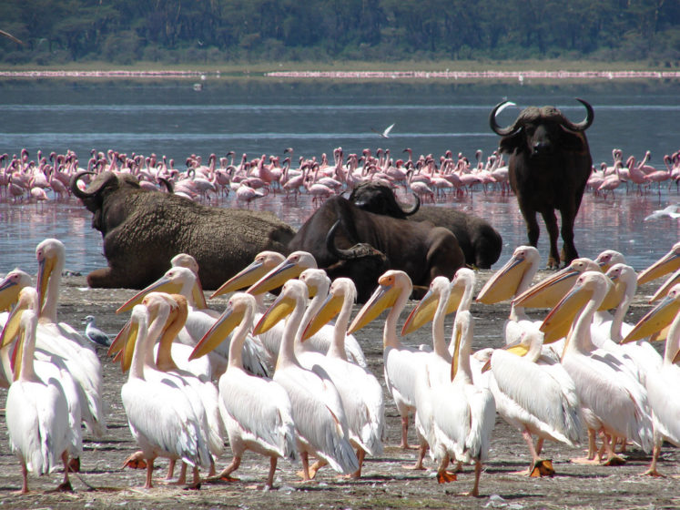 """Nakuru means """"Dust or Dusty Place"""" in the Maasai language, and lake is famous for its surrounding mountainous vicinity, but has since been extended to include a large part of the savannahs."""