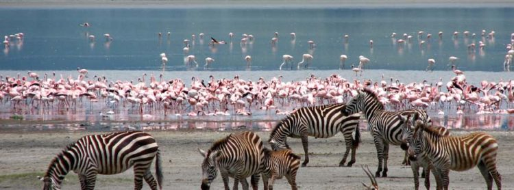 The flamingoes naturally feed with their long necks bent down and their bills upside down in the water, using their tongues to pump in and out to suck in the salty, alkaline water and mud.