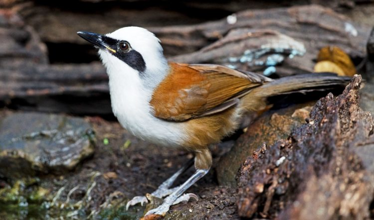 The eye-catching White crested Laughingthrush ((Garrulax leucolophus) is a member of the Leiothrichidae family.