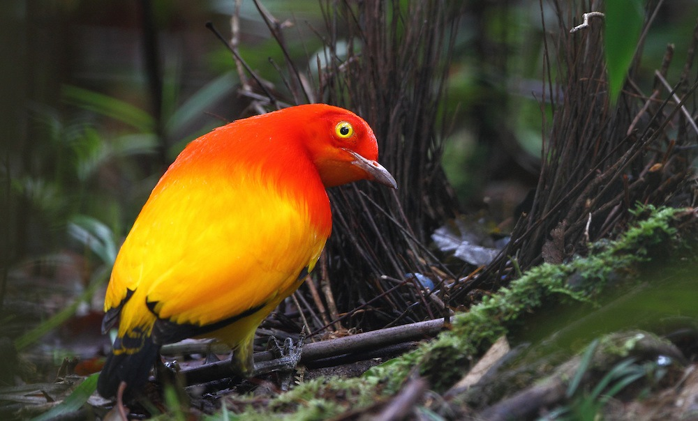 This bird is the first bowerbird described by naturalists, due to male's exquisitely colored plumage.