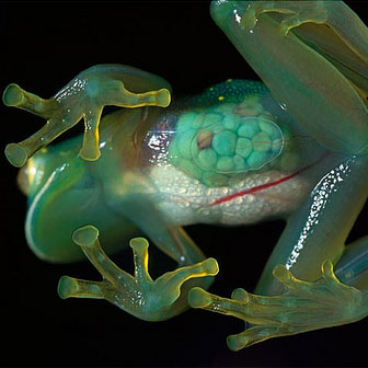This wonderful frog family has a transparent skin, letting you to view inside its small body, looks as if they melt into the leaves and become one with them.