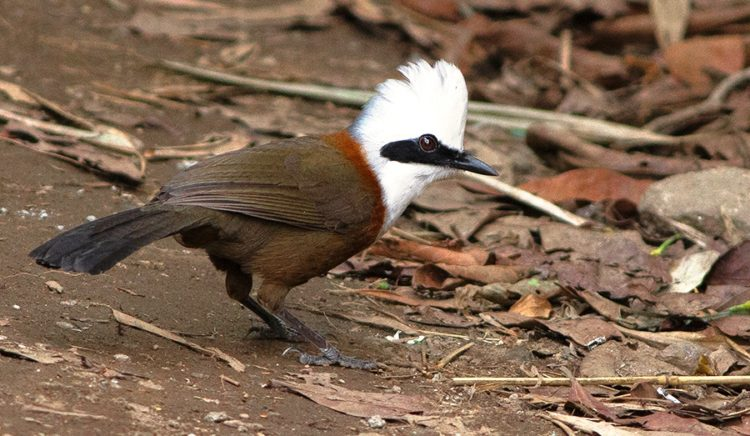 This bird is mostly found in forest and scrub from the Himalayan foothills to Indochina, broadleaf evergreen forest and mixed deciduous forest, disturbed, secondary and regenerating forest.