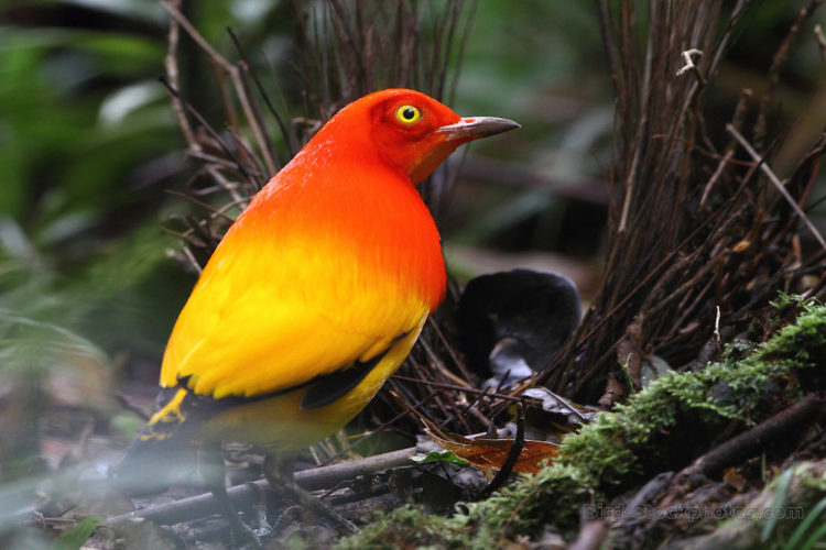 Indeed, the male flame bowerbird also has a courtship display along with his bower, and he twists his tails and his wings to the side, and than shakes his head rapidly.
