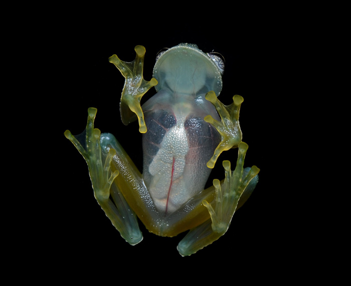 The glass frogs belong to amphibian family Centrolenidae (order Anura). Among the several strange and captivating amphibians on our planet, very special are the Glass Frogs.